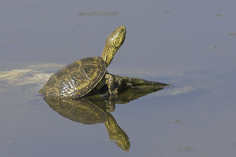 water turtle rasing its head out of the water