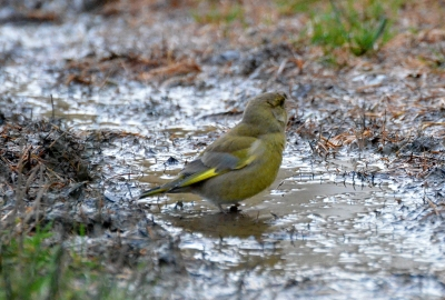 greenfinch in puddle