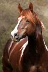 istock paint stallion