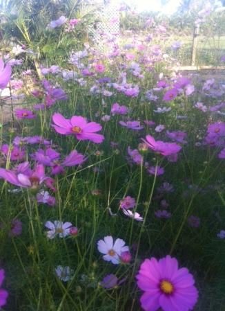 Cosmos attract bees and butterflies into the garden.