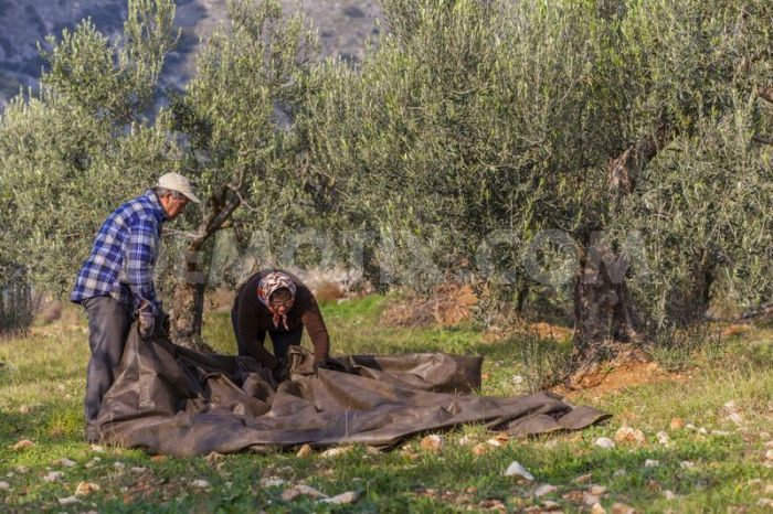 harvesting olives with nets