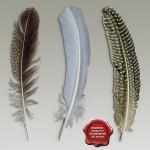 Birds_feathers_00.jpg315ce1e1-923d-48ea-987b-ee11f6770433Larger