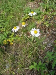 "wild chamomile blooming among ""weeds"""