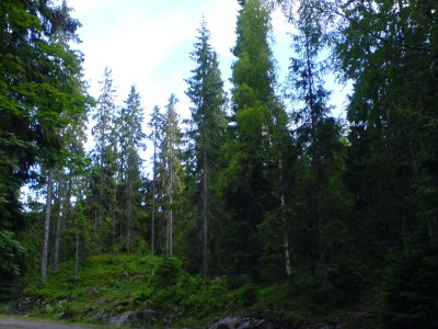 Mixed_Picea_(Spruce)_forest_from_Vestfold_county_in_Norway