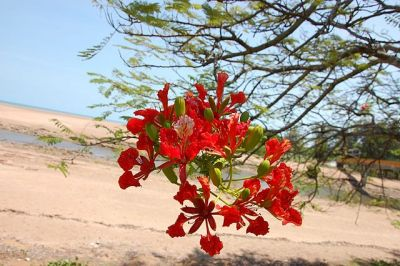 Flame Tree - Delonix regia Photo credit: Rantz Alot
