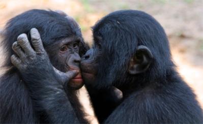 bonobos1