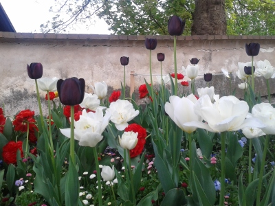 A picture of tulips from Cesky Krumlov that I took when we could see them in Amsterdam as we had planned because German rail was striking.