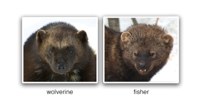 Synchronous Wisdom: Face-to-face with a Fisher by Kate Common