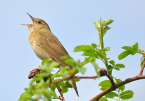 River Warbler in full song by Alan Dalton