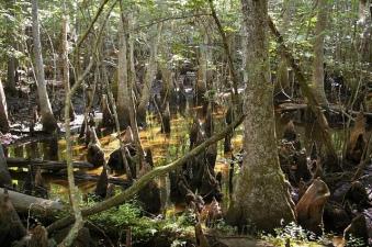 cypressforest