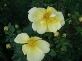 Blooms from Jennie's rosebush