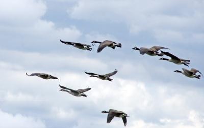 branta_canadensis_canada_geese_in_flight_great_meadows_national_wildlife_refuge