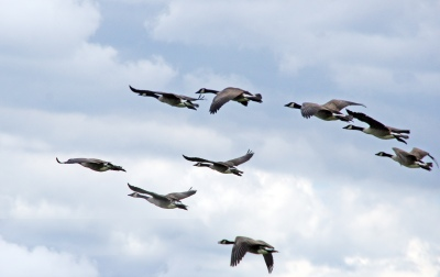 branta_canadensis_canada_geese_in_flight_great_meadows_national_wildlife_refuge