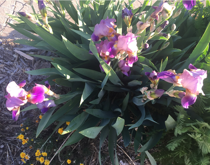 Irises bloom, photo by Judith Shaw