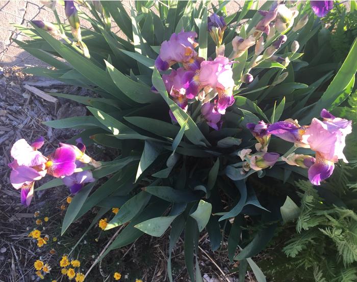 Irises bloom, photo by Judith Shaw