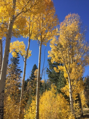 Aspen trees turn gold photo by Judith Shaw