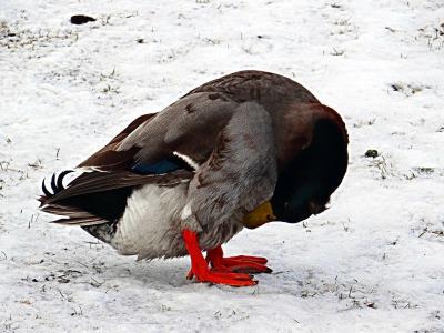 guilty duck