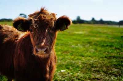 bull-calf-heifer-ko-162240