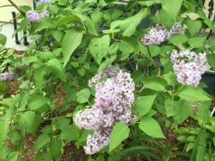 Lilacs from the bush that may have been outside my home for almost 150 years.