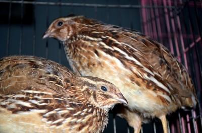 coturnix-quail