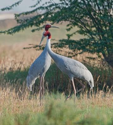 2 vigilant cranes