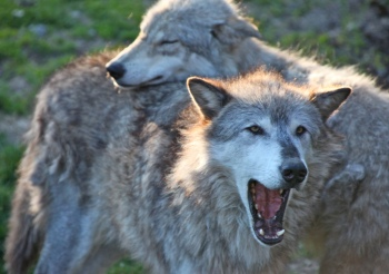 Grey-wolf-pair