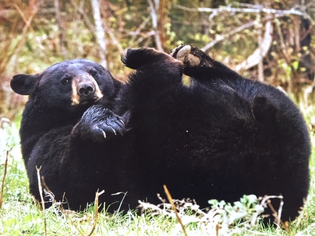 Picture of black bear, rolling on her back