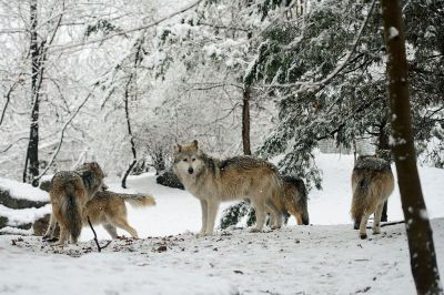 mexican-wolf-pack