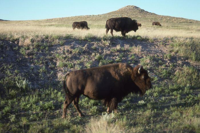 Image of buffalo standing in field