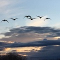 Picture of a group of cranes flying in the dusk sky