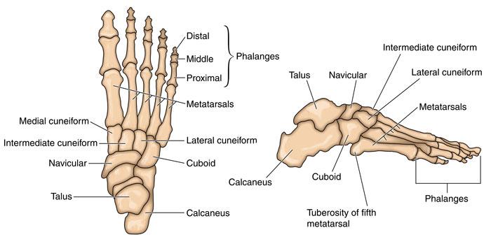 foot-bones700