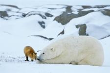 polar-bear-and-fox