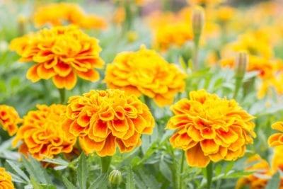 https://www.gardeningknowhow.com/ornamental/flowers/marigold/marigold-vs-calendula.htm